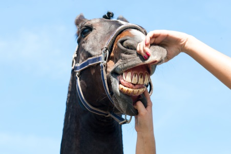 A horse, long in the tooth