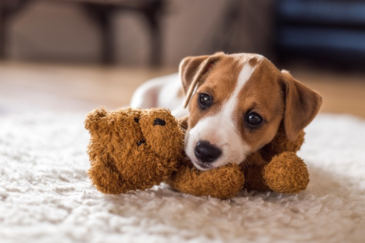 A cute puppy that's all bark and no bite.