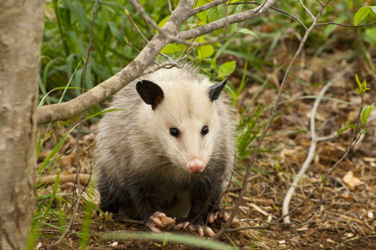 Phrase: Playing Possum - an opossum in the woods.